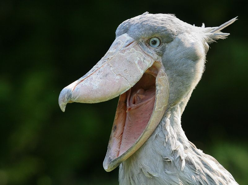 Shoebill is a type of bird that cannot be easily classified.