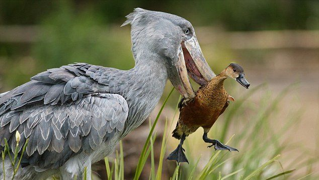 Shoebill is solitary animal