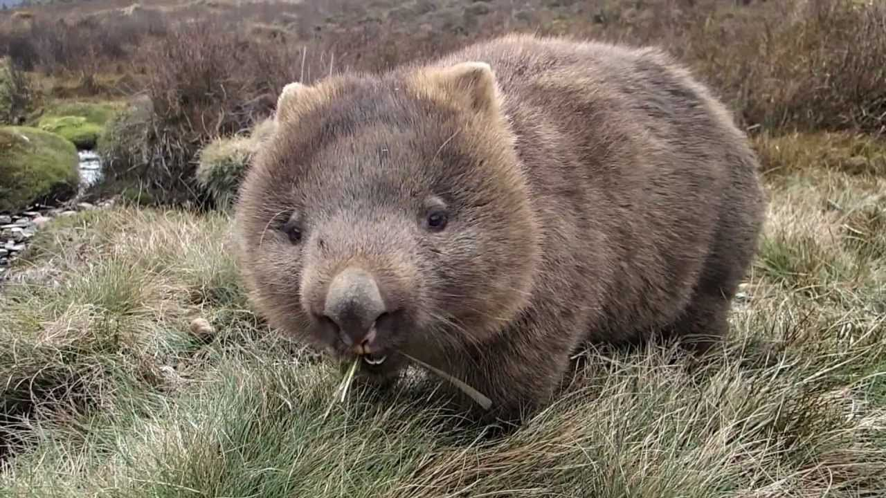Wombats are fast runners