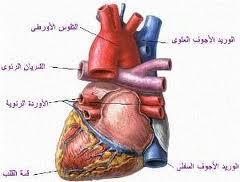 نصائح هامة للحفاظ على صحة القلب