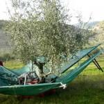 شاهد آلة جديدة لحرث شجر الزيتون