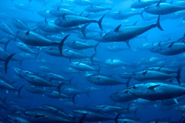 Atlantic Bluefin Tuna Facts
