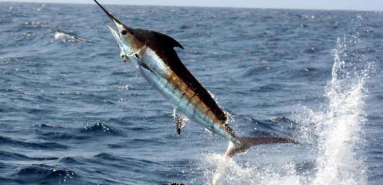 Average lifespan of female blue marlin