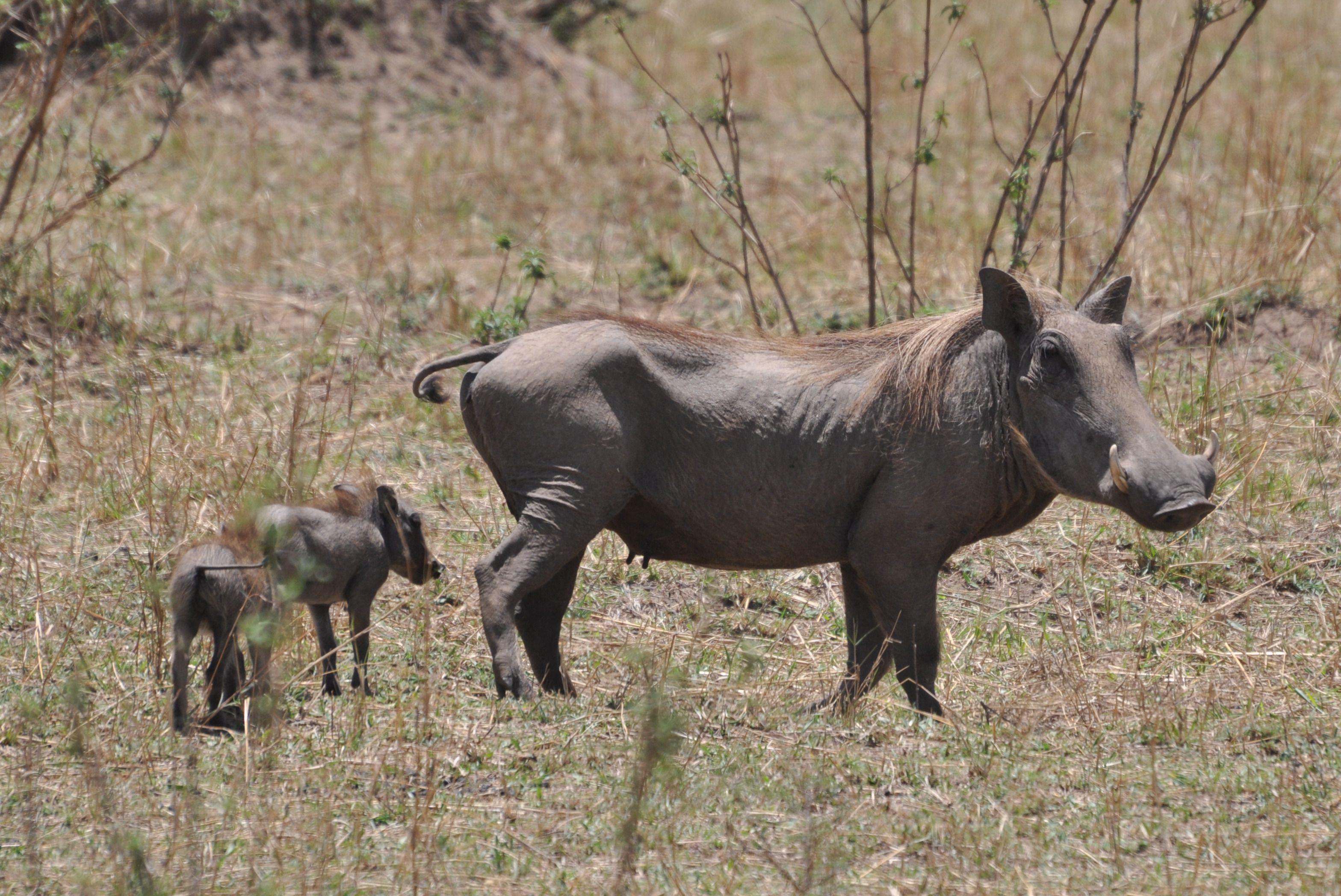 Average lifespan of warthog