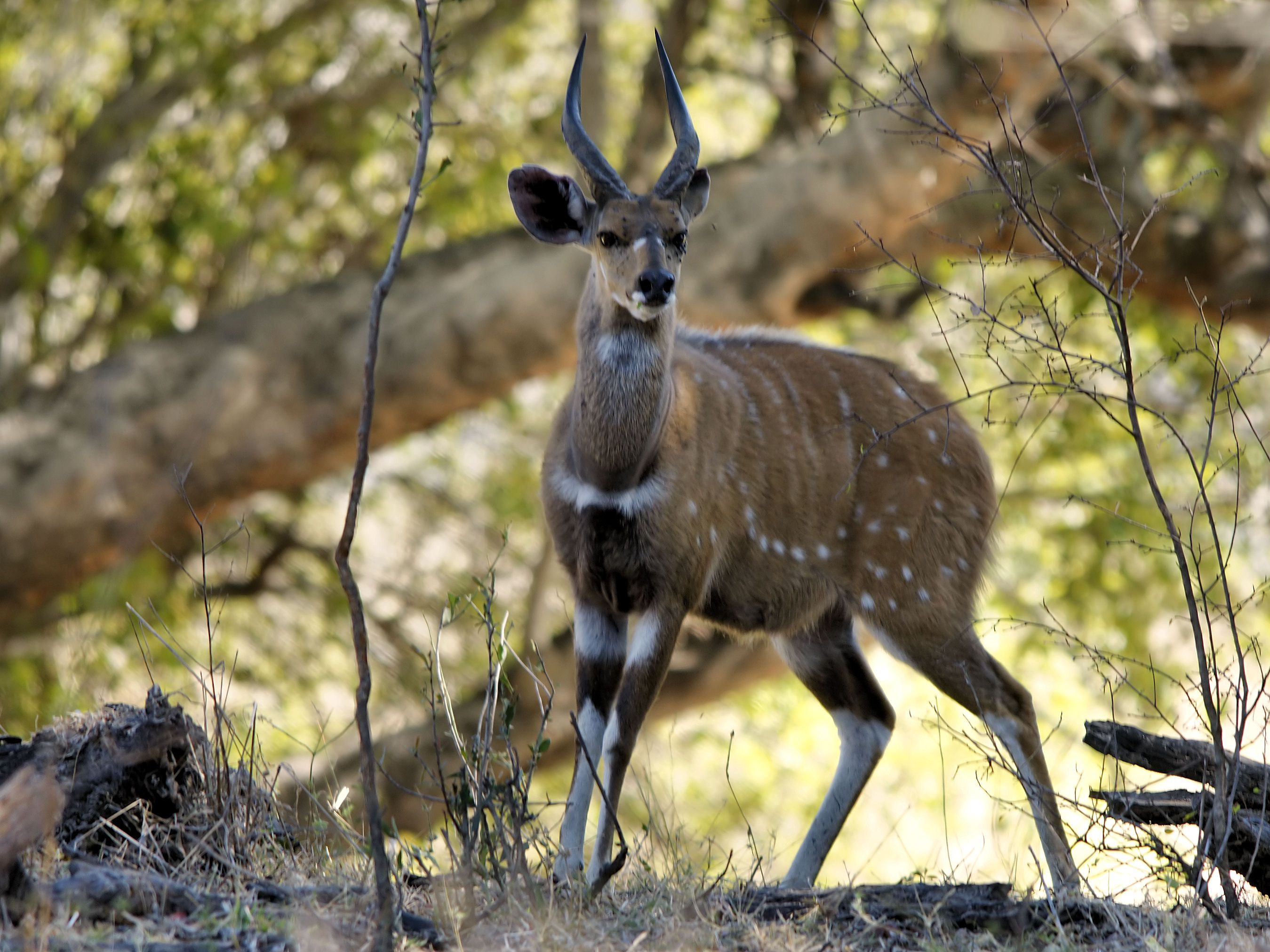 Bushbuck is a large antelope