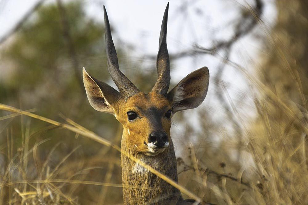 Bushbuck is a typical herbivore