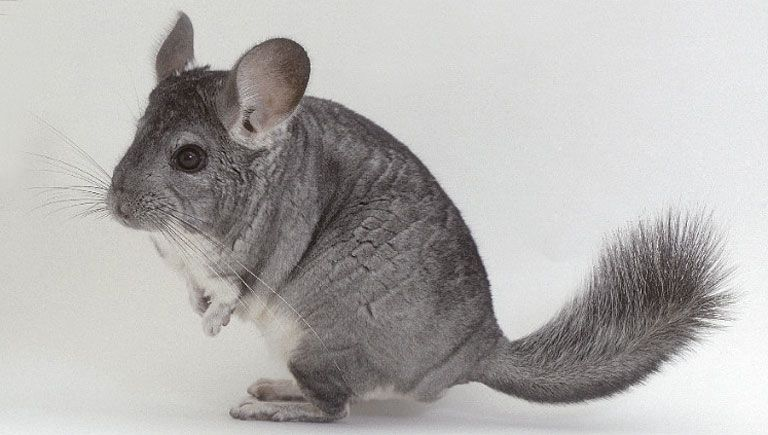 Chinchilla survive