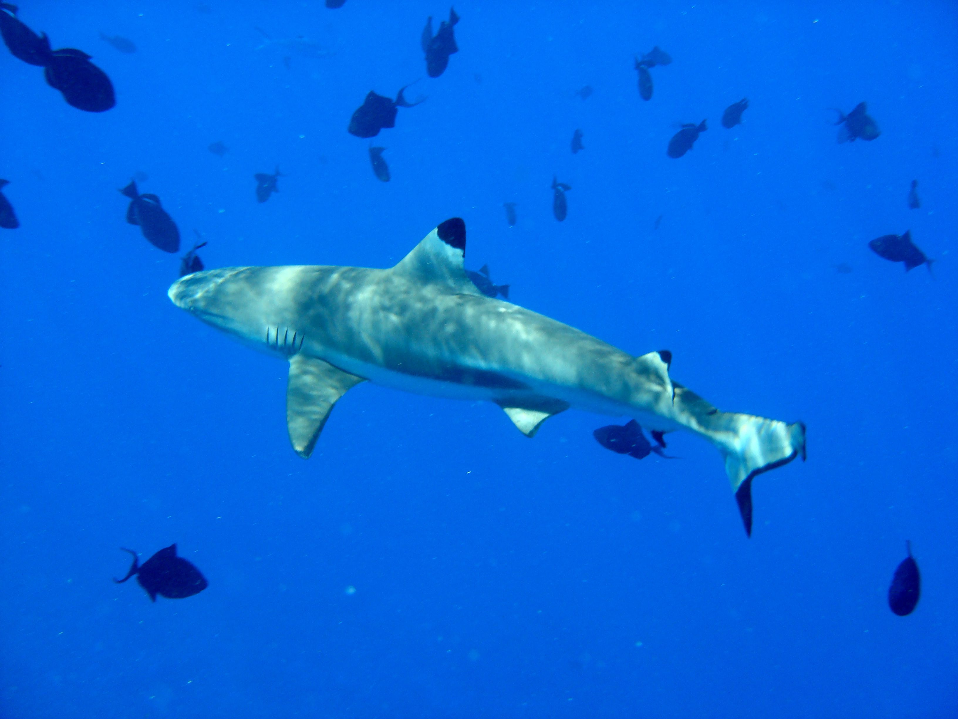 Grey reef shark has elongated body, rounded snout and large eyes.