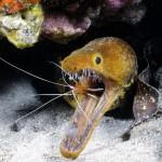 ثعبان البحر موراي