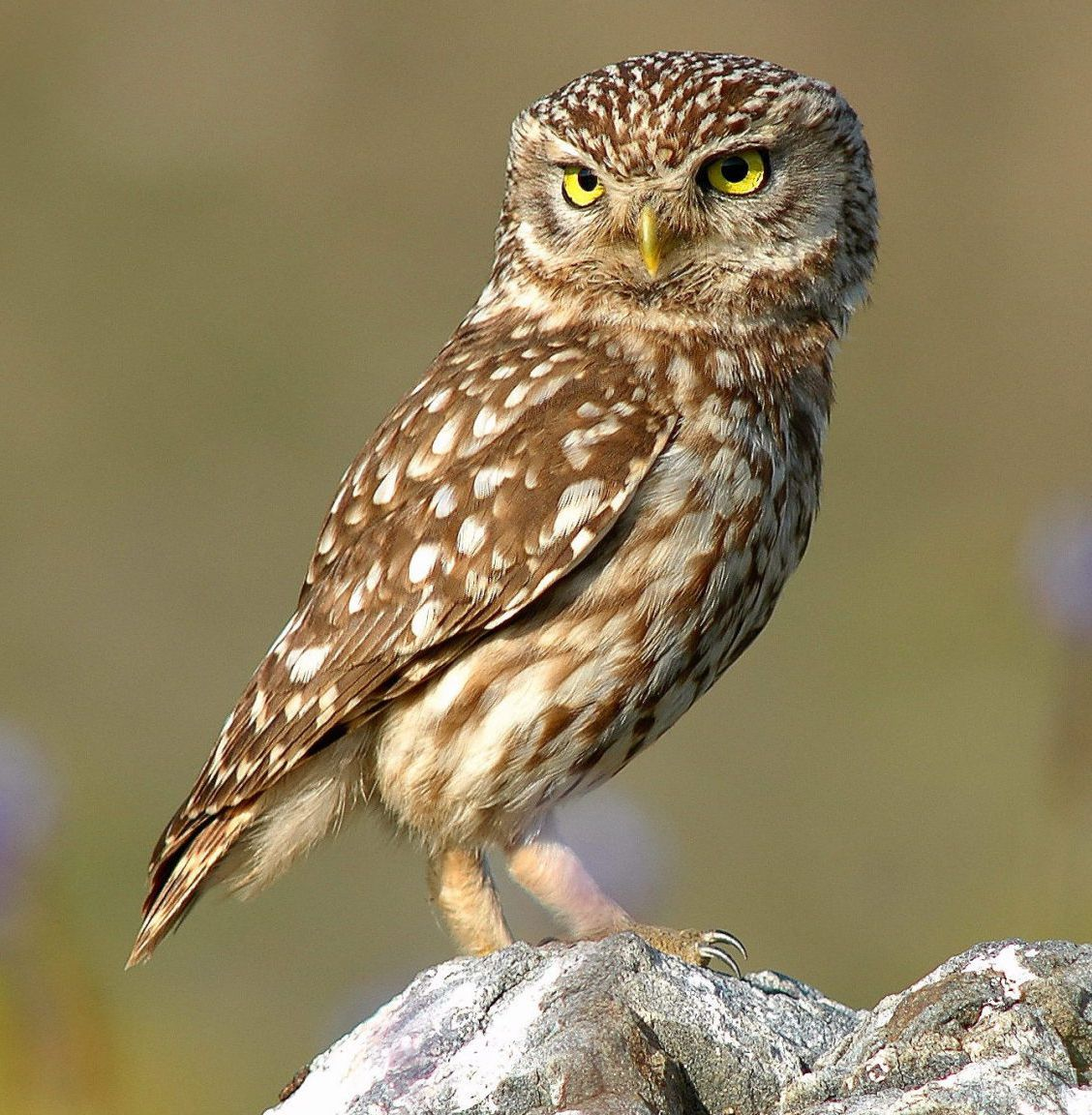 Owls are solitary creatures