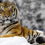 The Siberian and Bengal tiger - 301628