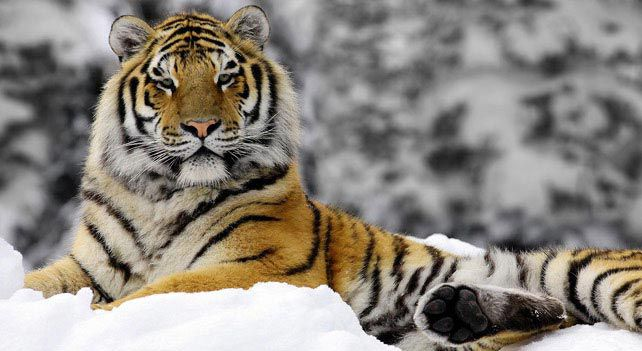 The Siberian and Bengal tiger