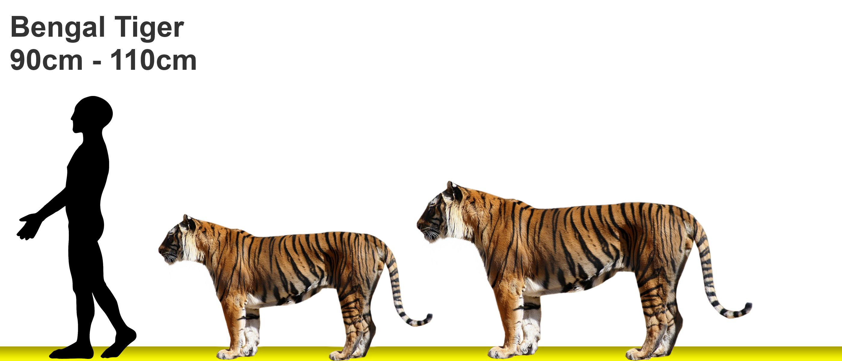 comparison of the tiger and the Get an answer for 'compare and contrast the poems the lamb and the tyger by william blake' and find homework help for other songs of the tiger is a killer, but he.