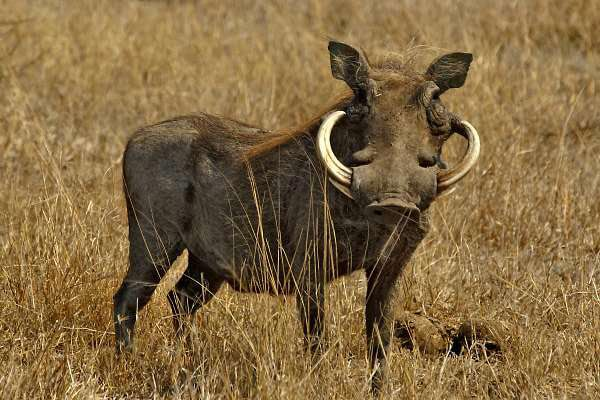 Warthogs can be grey to black in color