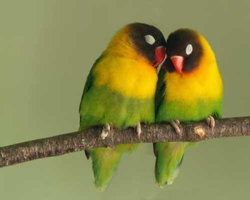 ببغاء طيور الحب