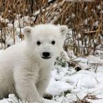 تكيف الدب القطبي في الجليد