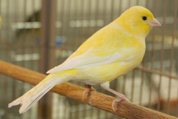 طيور الكناري American-Singer-Cana