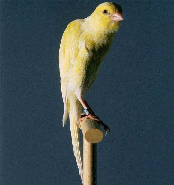 طيور الكناري Belgian-Fancy-Canary
