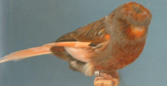 طيور الكناري Crested-Canary.jpg