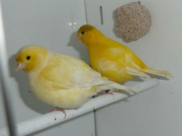 طيور الكناري Fife-Fancy-Canary.jp