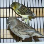 افضل انواع طيور الكناري