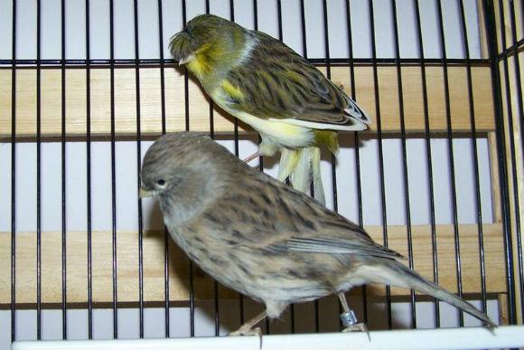 طيور الكناري Gloster-Fancy-Canary