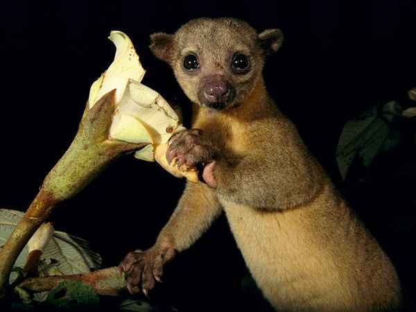 Kinkajou has large eyes