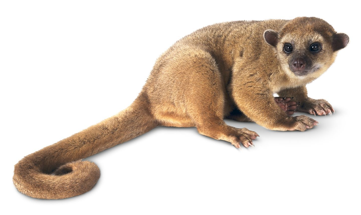 Kinkajou is a type of small mammal
