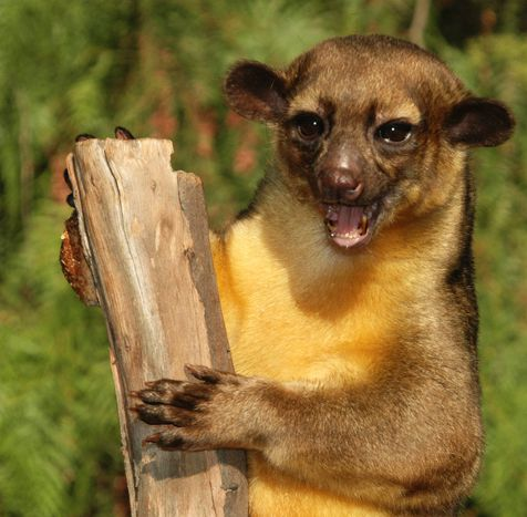 Kinkajou is territorial animal