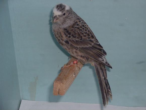 طيور الكناري Lizard-Canary.jpg