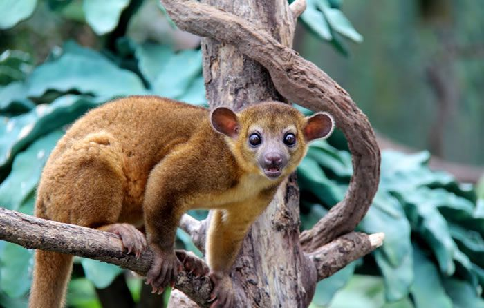 Male kinkajous sexual