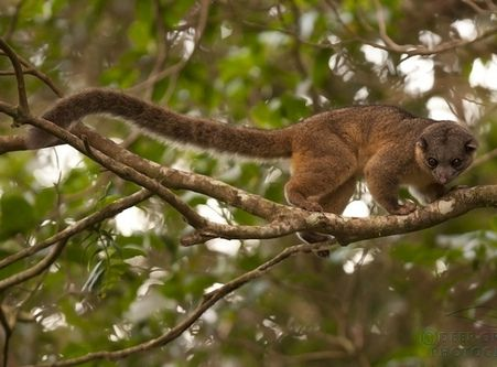 Olingos are nocturnal creatures. They sleep in the cavities of trees during the day.