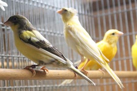 طيور الكناري RUSIAN.jpg