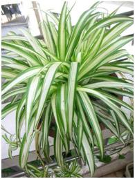 أفضل النباتات المنزلية لتنقية الهواء SPIDER.jpg