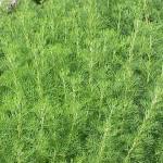 دراسة أمريكية : نبات الشيح يدمر الخلايا السرطانية خلال 16 ساعة