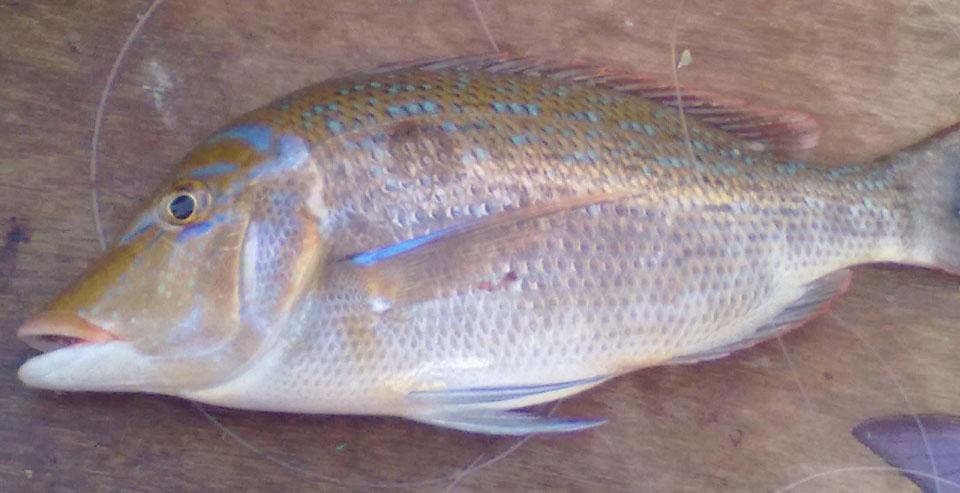 افضل انواع السمك للشوي lshaary-1.jpg