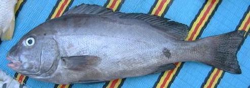افضل انواع السمك للشوي sbity.jpg