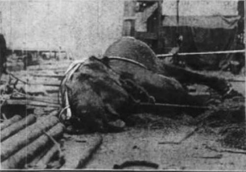 اعدام الفيلة ماري