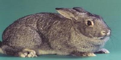 أرانب شنشلا