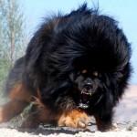 بالصور أخطر و أشرس أنواع الكلاب