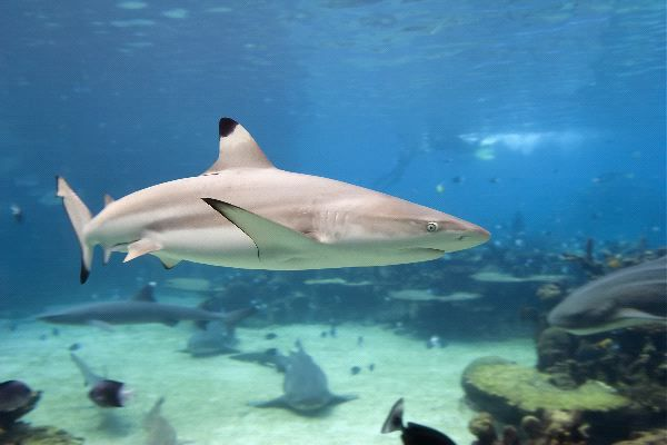 Black tip sharks often leap out of the water