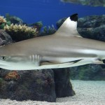 Black tip sharks - 325136