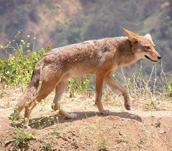 Coyote has pointed ears and muzzle and flat forehead. Another easily recognized feature is a long, bushy tail.