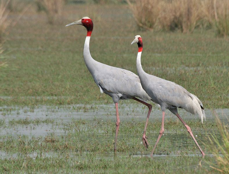 Cranes have long neck and straight beak.