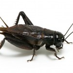 Crickets can be black - 325478