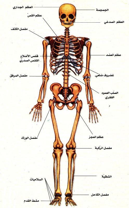 تشريح الجسم البشري بالعربي