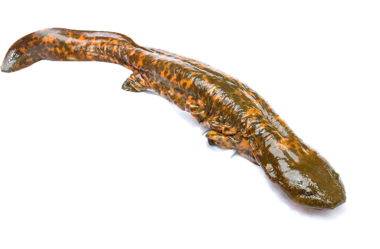 Mudpuppy is a large salamander