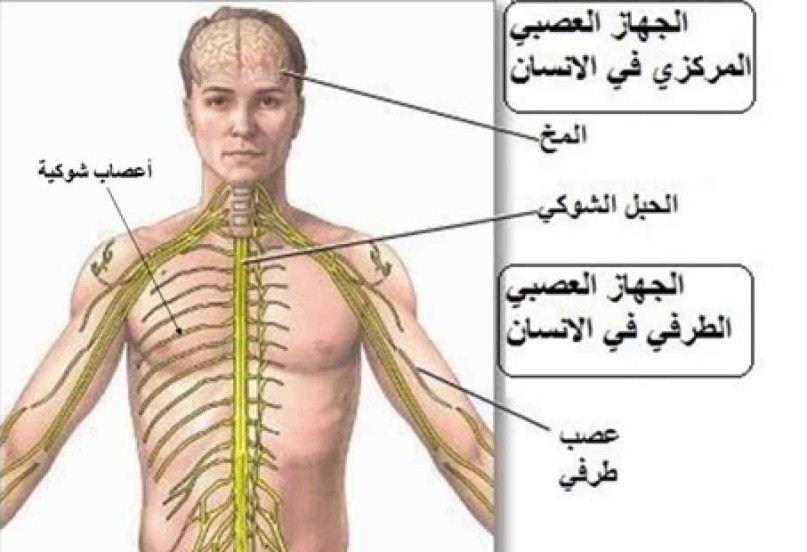 اعضاء جسم الانسان بالصور للاطفال المرسال