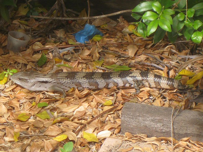 Skinks are often confused with snakes