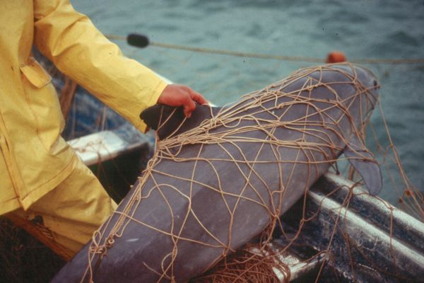 Vaquita is the smallest porpoise